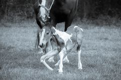 Mother and Baby Horses. 4 hours after her birth. royalty free stock photo