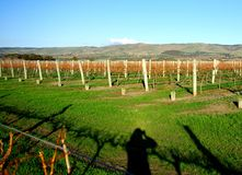 Photographing the Rolling Hills & Vineyard Stock Image