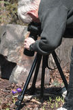 Photographing Spring Crocus. Photographer intently involved in photographing spring's early blooms, the spring crocus.  Photographer using tripod and camera Stock Photo
