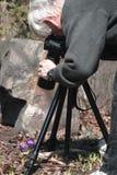 Photographing Spring Crocus Stock Photo