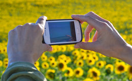 Photographing a sunflower field Royalty Free Stock Image