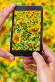 Photographing a sunflower field Stock Photos