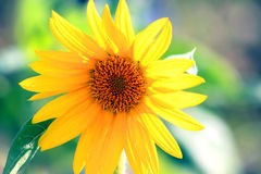 Photographing of sunflower Royalty Free Stock Image