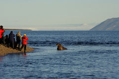 Photographing walrus in sea. Group of people photographing Atlantic walrus in sea, Svalbard archipelago, Arctic Circle stock image