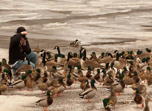 Photographing waterfowl Royalty Free Stock Image