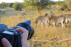 Photographing wildlife, South Africa Stock Images
