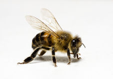 Photography. Worker honey bee (apis) with pollen royalty free stock photo