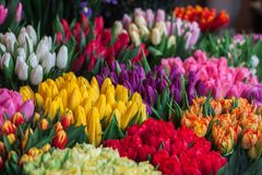 Photography of Assorted Colored Tulips Royalty Free Stock Photography