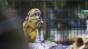 Photography of a Baby Monkey Eating Vegetable Royalty Free Stock Photography