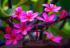 Pink Plumerias in Maui Hawaii royalty free stock photography