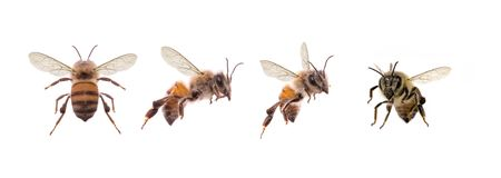 Photography of various bees isolated on white background. Photography of bees isolated on white background for image cropping and manipulation in image editing stock photography