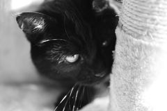 Photography in black and white of a cat in semi-close-up royalty free stock image