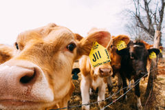 Photography of Brown Black Cows Royalty Free Stock Image
