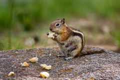 Photography of Brown Chipmunk Eating on Top of Rock Stock Photos