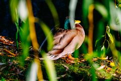 Photography of Brown and Green Mallard Duck Near Green Plants Stock Images