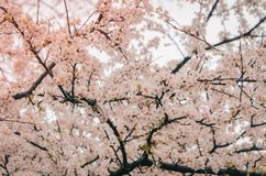 Photography of Cherry Blossom Royalty Free Stock Images