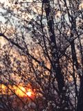 Photography of Cherry Blossom Flowers During Sunset Royalty Free Stock Photography