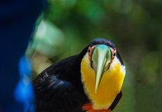 Colorful Exotic Toucan royalty free stock photo