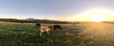 Photography of Cows During Sunset Royalty Free Stock Images