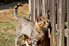 Domestic Cat by the wooden fence. Photography of a domestic cat by the wooden fence stock photography