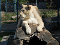 Lion on tree trunk. Photography of female white lion at Belgrade zoo, lion laying on tree trunk, Serbia Stock Image