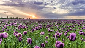Photography of Field of Purple Flowers stock photos
