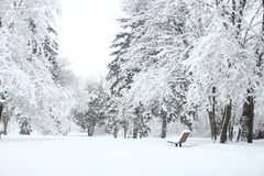 Photography Of Fir Trees Covered in SNow Royalty Free Stock Image