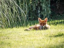 Photography of a Fox Lying on Grass Stock Image