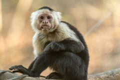 Photography of Gray and Black Monkey Royalty Free Stock Image