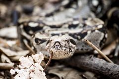 Photography of Gray and Brown Snake Royalty Free Stock Photography