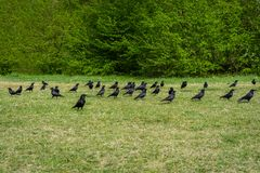 Photography with group of crows in the forest royalty free stock photo