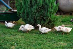 Fowl-run with white domestic ducks on a farm Royalty Free Stock Photos