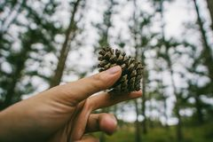 Photography of Hand Holding a Pine cone Stock Photo