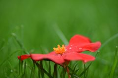 Photography image of natural red begonia flower and raindrops with orange glow pollen taken on South coast England UK Stock Photo