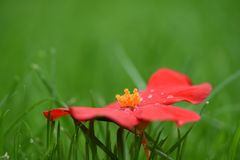 Photography image of natural red begonia flower and raindrops with orange glow pollen taken on South coast England UK Royalty Free Stock Images