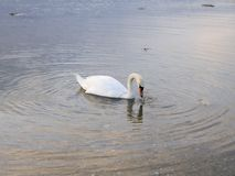 Isolated swan feeding. Photography on an isolated swan that is feeding. The photography has been taken in 2018 in Malmo near the coast line royalty free stock photography