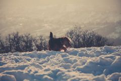 Photography of Long-coated Brown Dog Standing on Snow Covered Floor stock photography