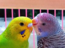 Parakeets royalty free stock photo
