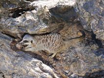 Meerkat eating raw flesh. Photography of a meerkat eating raw flesh on a rock. The photography has been taken in natural daylight stock photo