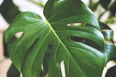 Big green leaf of monstera, macro photography of nature, beautiful flowers, home grown plants. Photography of monstera leaf stock photo