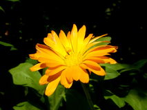 Photography of orange flower on blurred green and black backgrou. Photo of calendula flower with yellow center and orange petals on blurred green with black Royalty Free Stock Images