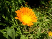 Photography of orange flower on blurred green and black backgrou. Photo of calendula flower with yellow center and orange petals on blurred green with black Stock Images