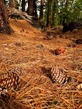 Photography of Pine Cones on Ground Stock Photo