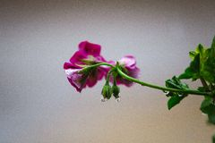 Photography of Pink Flowers royalty free stock photo