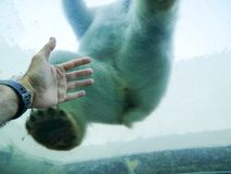 Polar bear and a human hand. Photography of a polar bear sitting on a glass cupola. The human hand is reaching towards the bear stock photography