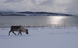 Reindeer walking in the snow to eat with mountains and sea stock images