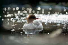 Scaly-sided merganser Royalty Free Stock Photos