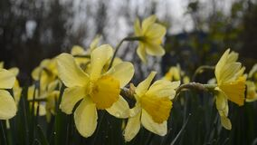 Spring flowering narcissus stock video