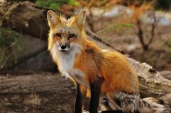 Photography of Tan White Fox Royalty Free Stock Images