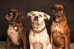 Photography of Three Dogs Looking Up Royalty Free Stock Photos